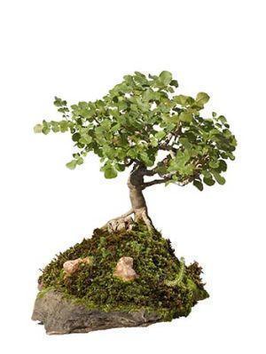 coltivazione e cura del bonsai