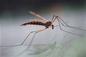 Zanzariera faidate: zanzara