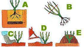 piantagione a cespuglio