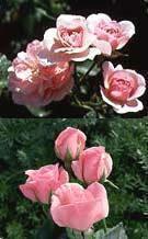 rose rifiorite