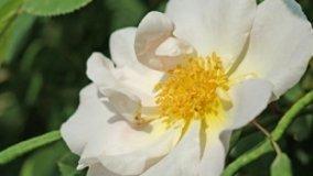 Nuove varieta' di rose