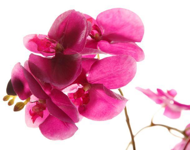 fiore di Alchemilla Matè