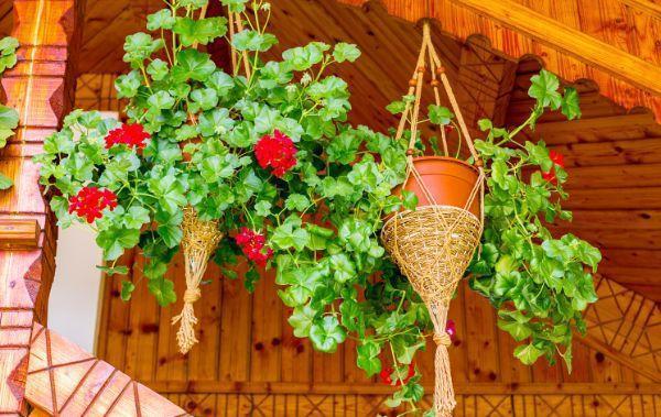 gerani decorazione