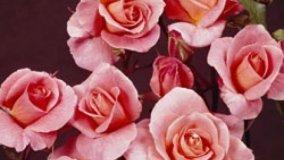 Festival delle Rose
