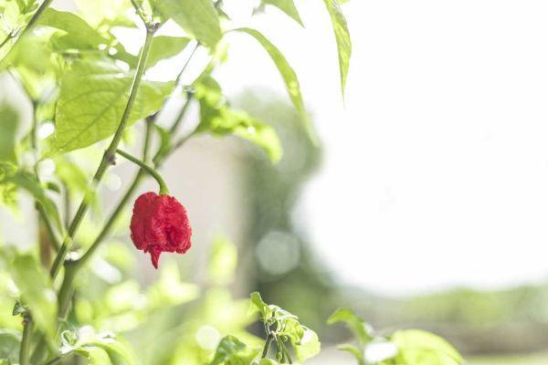 Carolina reaper, il peperoncino super piccante