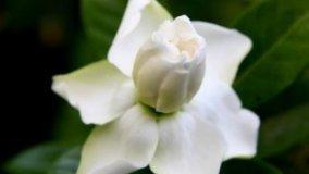 Gardenia: coltivazioni facili