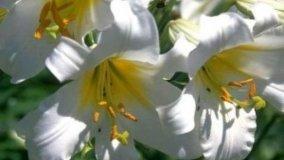 Giglio, fiore elegante