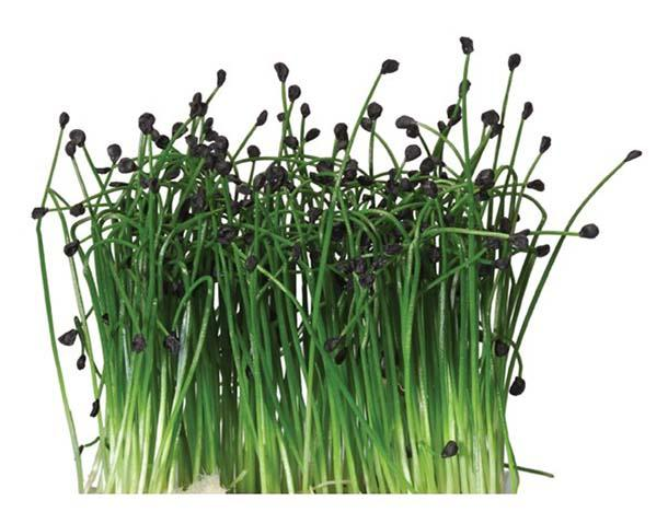 Rock Chives® di Koppert Cress