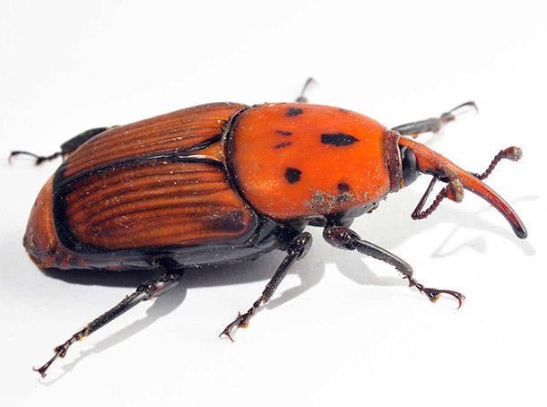 Rhynchophorus ferrugineus alias Punteruolo rosso