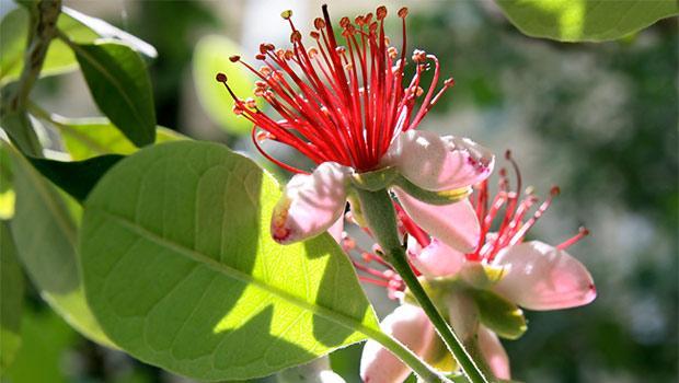 Fiore di Feijoa