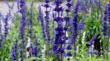 Salvia, la regina delle aromatiche