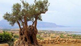 Olivo: tradizione mediterranea