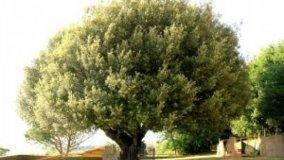 Leccio, Quercus Ilex