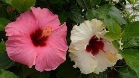 Ibisco, il fiore della bellezza