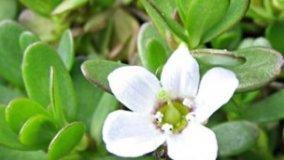 Bacopa, tripudio di fiori