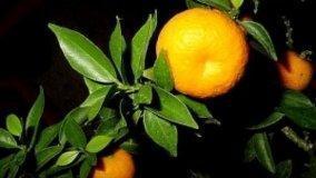 L'agrume più amaro: Citrus Aurantium