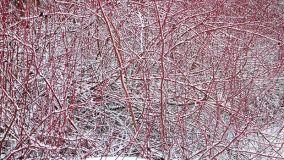 Rosso in giardino: Cornus Alba Sibirica