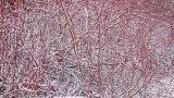 Cornus Alba Sibirica, rosso in giardino