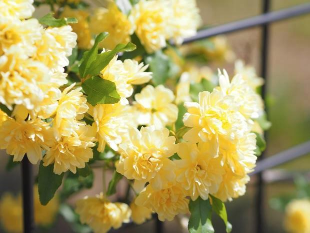 Rosa Banksiae gialla