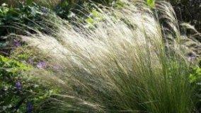 Stipa tenuissima, la pianta da pettine