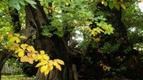 Il castagno, l'albero autunnale