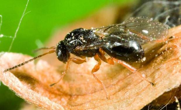 Cinipide Galligeno parassita del castagno