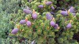 Specie di conifera esotica e rara