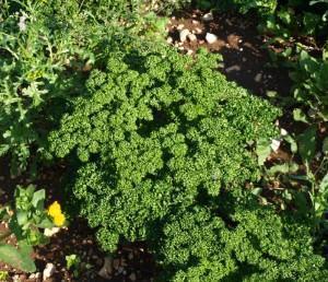La pianta del prezzemolo