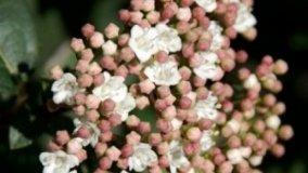 Viburno tino, fioriture invernali