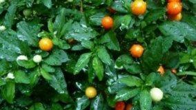 Solanum ornamentale