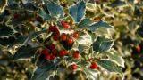 Ilex Aquifolium per la casa e il giardino