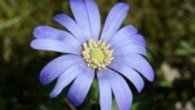 Anemone, per un giardino colorato