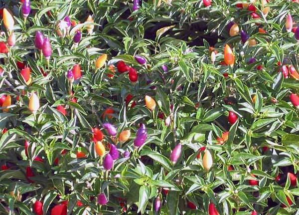 I differenti colori del peperoncino ornamentale
