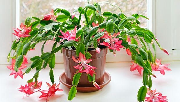 Cactus di Natale (Schlumbergera)