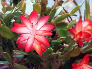 Cactus di Natale: Schlumbergera buckleyi