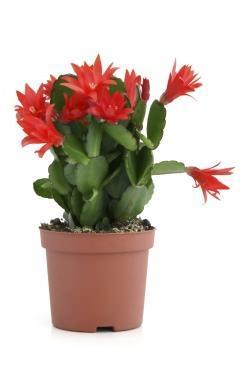 Cactus di Natale: Zygocactus Truncatus