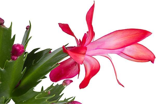 Schlumbergera buckleyi cactus di Natale, particolare del fiore