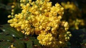 Mahonia aquifolium, uva dell'Oregon