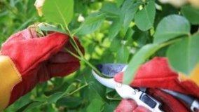 Potatura di rimonda delle rose