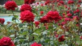 Messa a dimora e rincalzatura delle rose