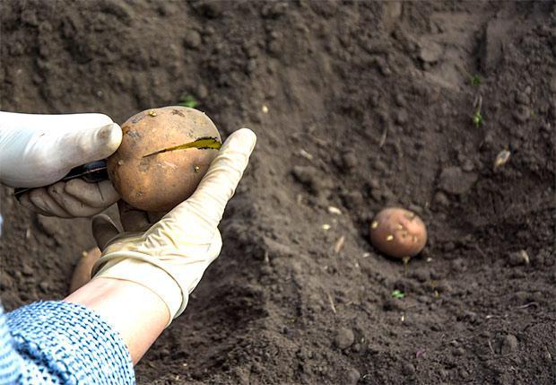 Taglio delle patate prima della semina