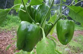 Coltivazione del peperone verde