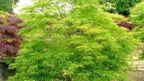 Coltivazione Acero Giapponese