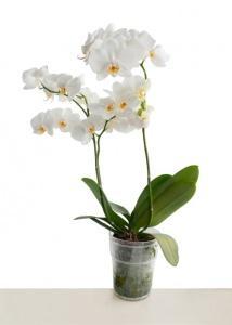 Casa immobiliare, accessori: Cura delle orchidee in casa