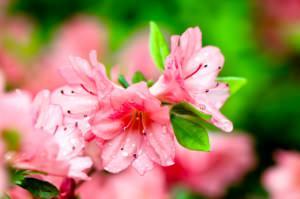 Fiori rosa di Rododendro