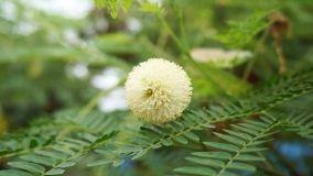 Coltivazione dell'acacia