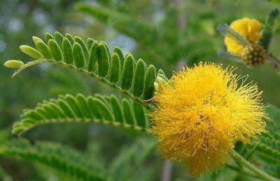 Acacia Caratteristiche E Cure