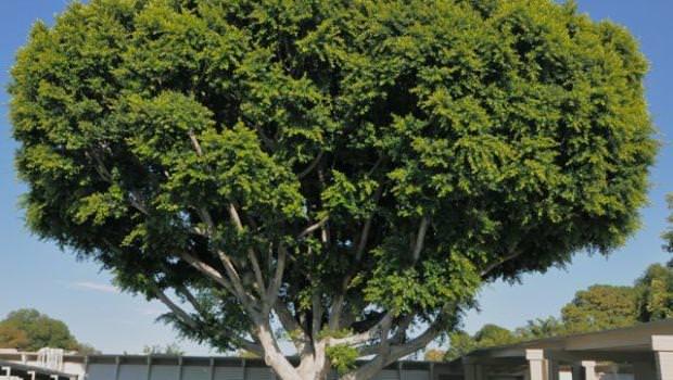 Acacia caratteristiche e cure for Acacia albero