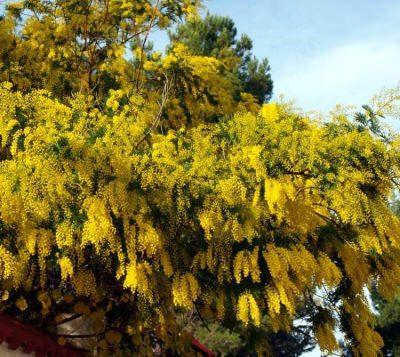 Acacia Dealbata: Mimosa
