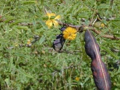 Acacia con fiore e baccello semi
